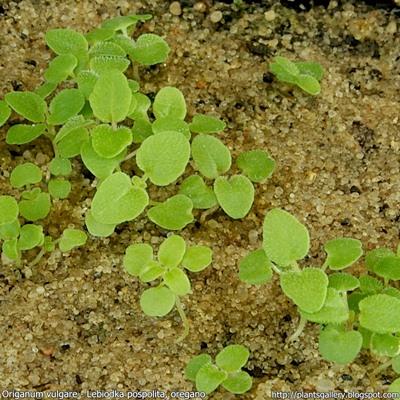Origanum vulgare seeds - Lebiodka pospolita, oregano siewki