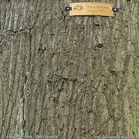 Quercus rubra bark - Dąb czerwony kora