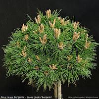Pinus mugo 'Benjamin' - Sosna górska 'Benjamin'