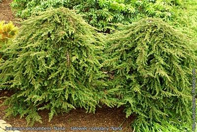 Juniperus procumbens 'Nana' - Jałowiec rozesłany 'Nana'