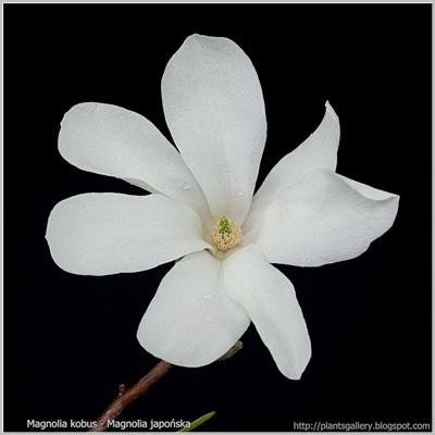 Magnolia kobus - Magnolia japońska