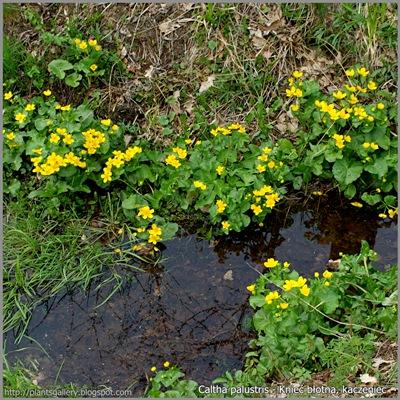 Caltha palustris - Knieć błotna, kaczeniec Przykładowe środowisko występowania