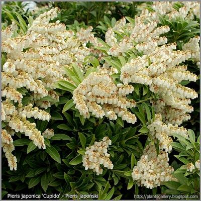 Pieris japonica 'Cupido' inflorescence - Pieris japoński 'Cupido' kwiatostany