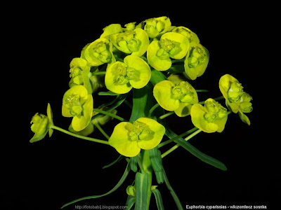 Euphorbia cyparissias - Wilczomlecz sosnka