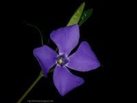 Vinca minor 4-petaled flower - Barwinek pospolity kwiat czteropłatkowy
