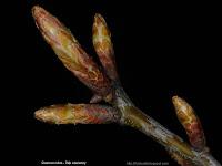 Quercus rubra Leaf buds - Dąb czerwony pąki liściowe
