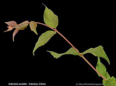 Kolkwitzia amabilis - Kolkwicja chińska