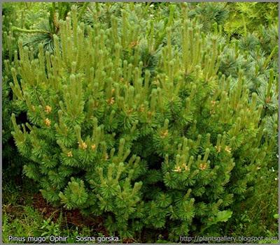 Pinus mugo 'Ophir' - Sosna górska 'Ophir'