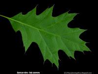 Quercus rubra leaf - Dąb czerwony liść