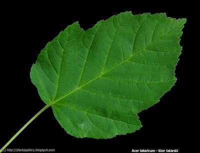 Acer tataricum leaf - Klon tatarski lść
