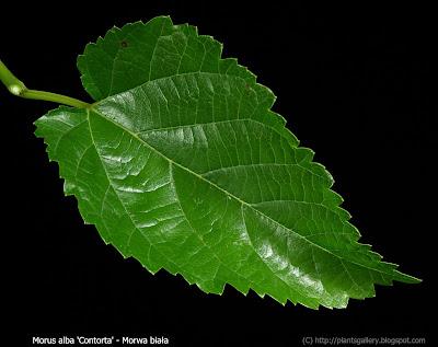 Morus alba 'Contorta' - Morwa biała 'Contorta'