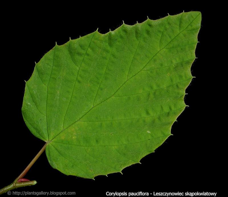 Corylopsis pauciflora leaf - Leszczynowiec skąpokwiatowy liść