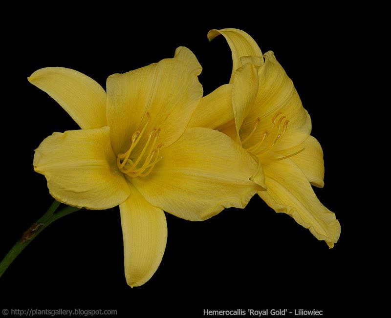 Hemerocallis 'Royal Gold' - Liliowiec ogrodowy 'Royal Gold'