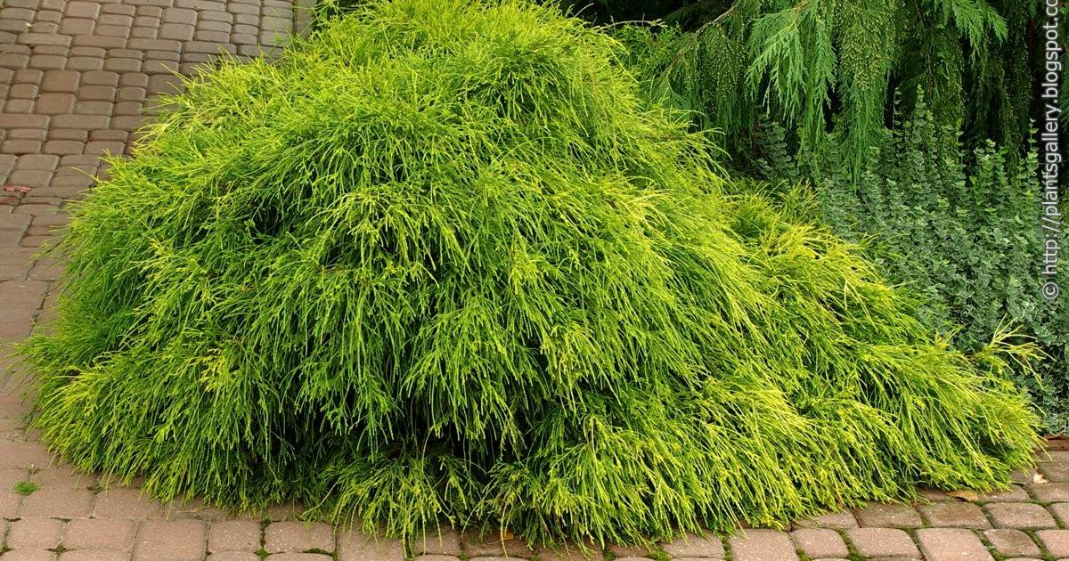 plant gallery encyklopedia roslin chamaecyparis