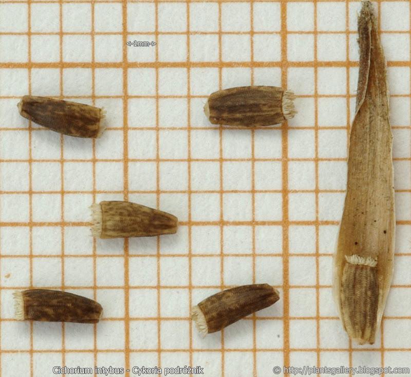 Cichorium intybus seeds - Cykoria podróżnik nasiona