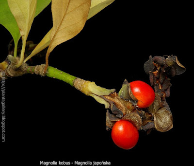 Magnolia kobus fruit - Magnolia japońska owoce