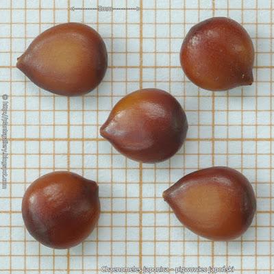 Chaenomeles japonica seed - Pigwowiec japoński nasiona