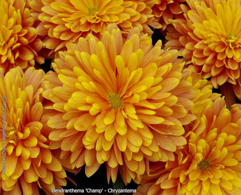 Dendranthema 'Champ' flowers  - Chryzantema 'Champ' kwiaty