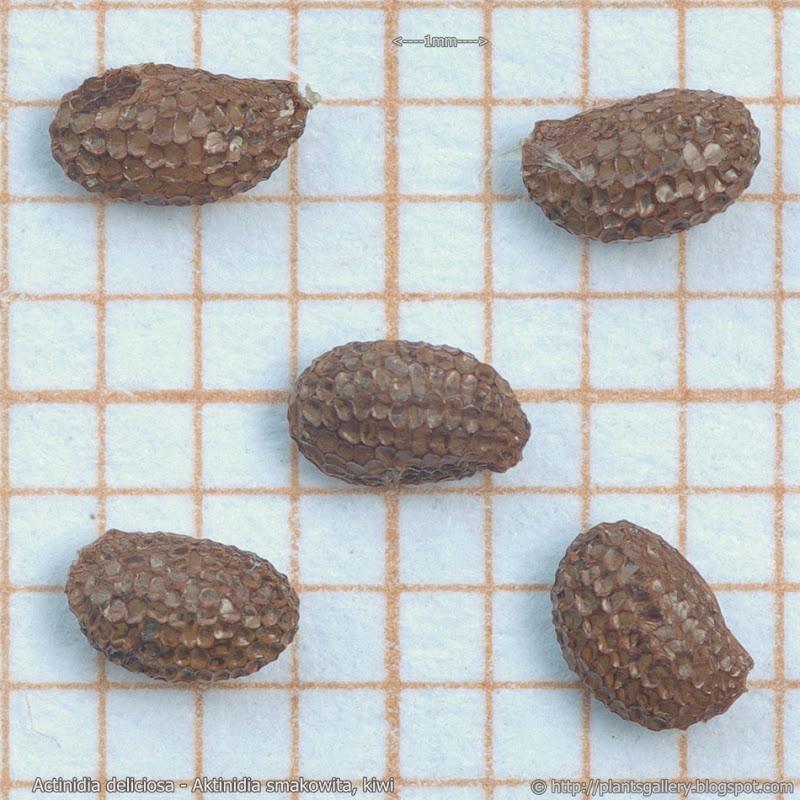Actinidia deliciosa seed - Aktinidia smakowita, kiwi nasiona
