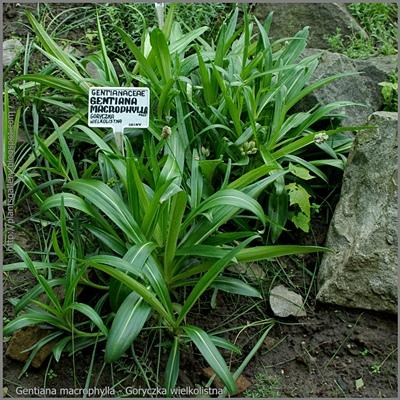 Gentiana macrophylla - Goryczka wielkolistna