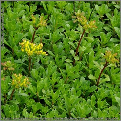 Sedum kamtschaticum var. floriferum 'Weihenstephaner Gold' - Rozchodnik kamczacki