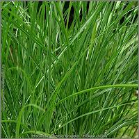 Miscanthus sinensis 'Graziella' - Miskant chiński 'Graziella'