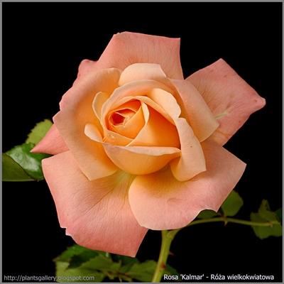 Rosa 'Kalmar' - Róża wielkokwiatowa 'Kalmar'