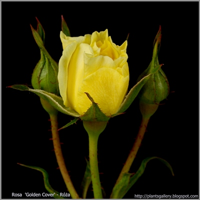 Rosa 'Golden Cover' - Róża krzaczasta 'Golden Cover'