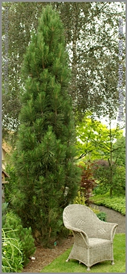 Pinus nigra 'Molette' - Sosna czarna 'Molette'