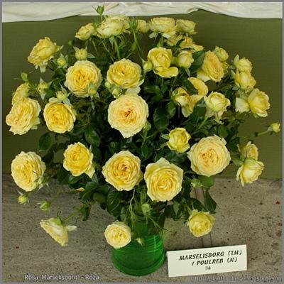 Rosa 'Marselisborg' - Róża wielokwiatowa 'Marselisborg'