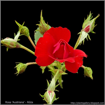 Rosa 'Austriana' - Róża 'Austriana'