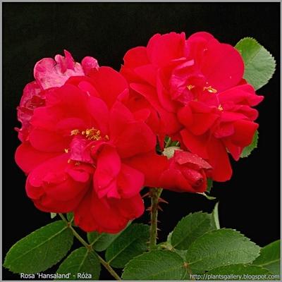 Rosa 'Hansaland' - Róża 'Hansaland'