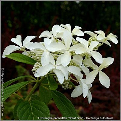 Hydrangea paniculata 'Great Star' - Hortensja bukietowa 'Great Star'