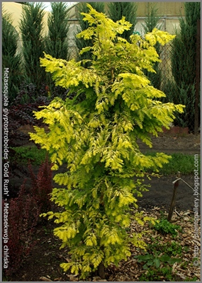 Metasequoia glyptostroboides 'Gold Rush' - Metasekwoja chińska 'Gold Rush'