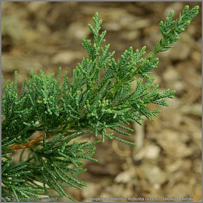 Juniperus chinensis 'Robusta Green' - Jałowiec chiński 'Robusta Green'