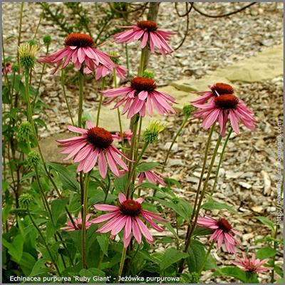 Echinacea purpurea 'Ruby Giant' - Jeżówka purpurowa