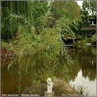 Salix sepulcralis - Wierzba płacząca