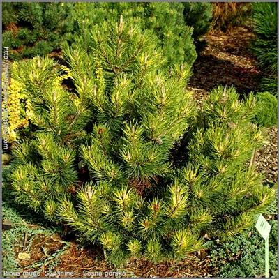 Pinus mugo 'Sunshine' - Sosna górska 'Sunshine'