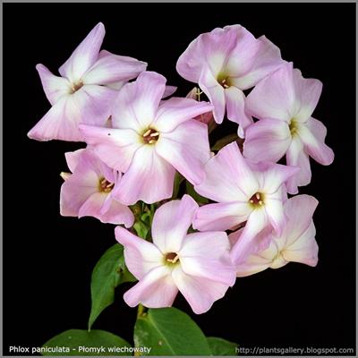 Phlox paniculata - Płomyk wiechowaty