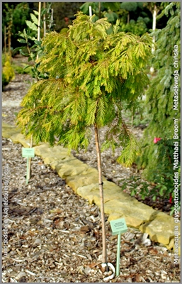 Metasequoia glyptostroboides 'Matthaei Broom' - Metasekwoja chińska 'Matthaei Broom'