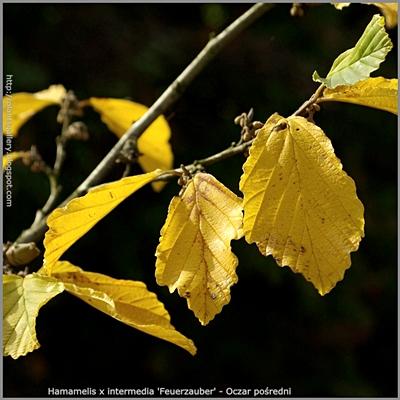 Hamamelis x intermedia 'Feuerzauber' autumn leaf - Oczar pośredni 'Feuerzauber' liście jesienią
