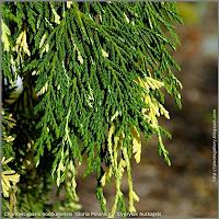 Chamaecyparis nootkatensis 'Gloria Polonica' - Cyprysik nutkajski  'Gloria Polonica'