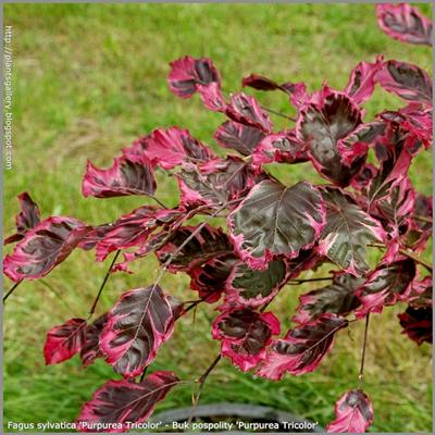 Fagus sylvatica 'Purpurea Tricolor' - Buk pospolity 'Purpurea Tricolor' liście