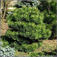 Pinus nigra 'Hornibrookiana' - Sosna czarna 'Hornibrookiana'