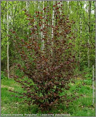 Corylus maxima 'Purpurea' - Leszczyna południowa pokrój młodej rośliny