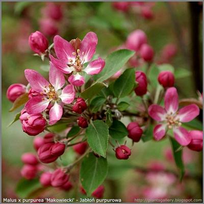 Malus x purpurea 'Makowiecki' - Jabłoń purpurowa 'Makowiecki' pąki kwiatowe
