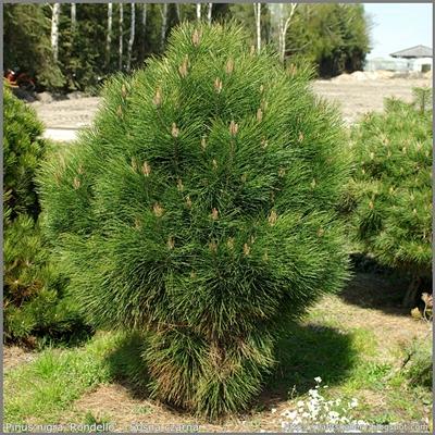 Pinus nigra 'Rondello' - Sosna czarna 'Rondello'