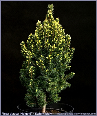 Picea glauca 'Maigold' - Świerk biały 'Maigold'