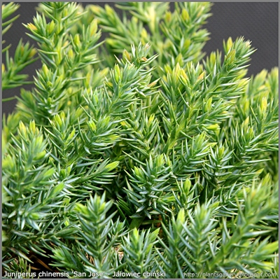 Juniperus chinensis 'San Jose' - Jałowiec chiński 'San Jose'