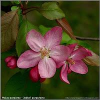 Malus purpurea 'Ola' - Jabłoń purpurowa 'Ola'